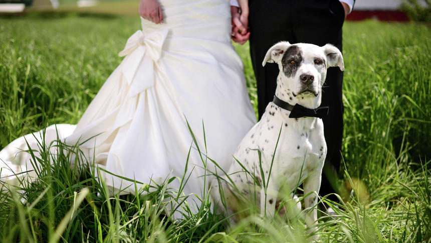 White and black spotted dog with bowtie in front of wedding couple in a field.